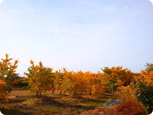 祖父江の銀杏祭り・紅葉