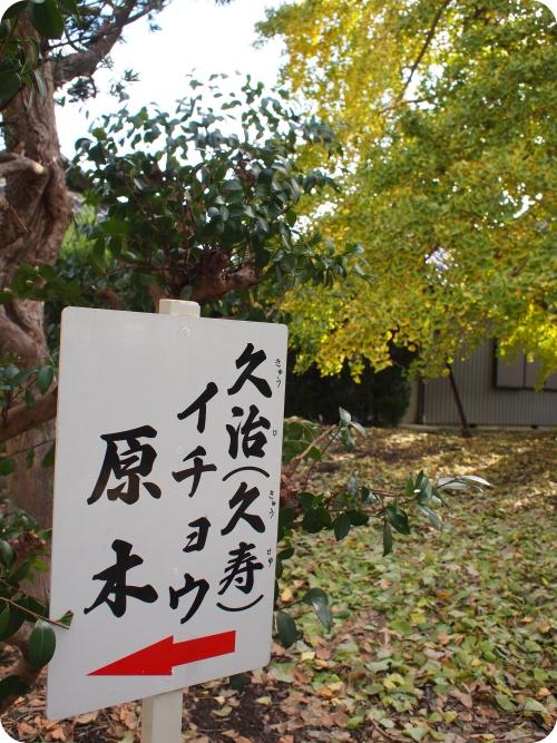 祖父江の銀杏・イチョウの原木