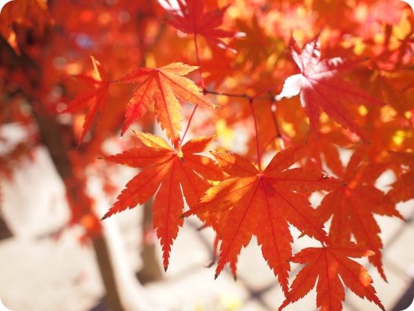 半田市・半六庭園の紅葉