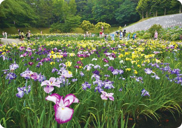 東海市大池公園・花しょうぶまつり